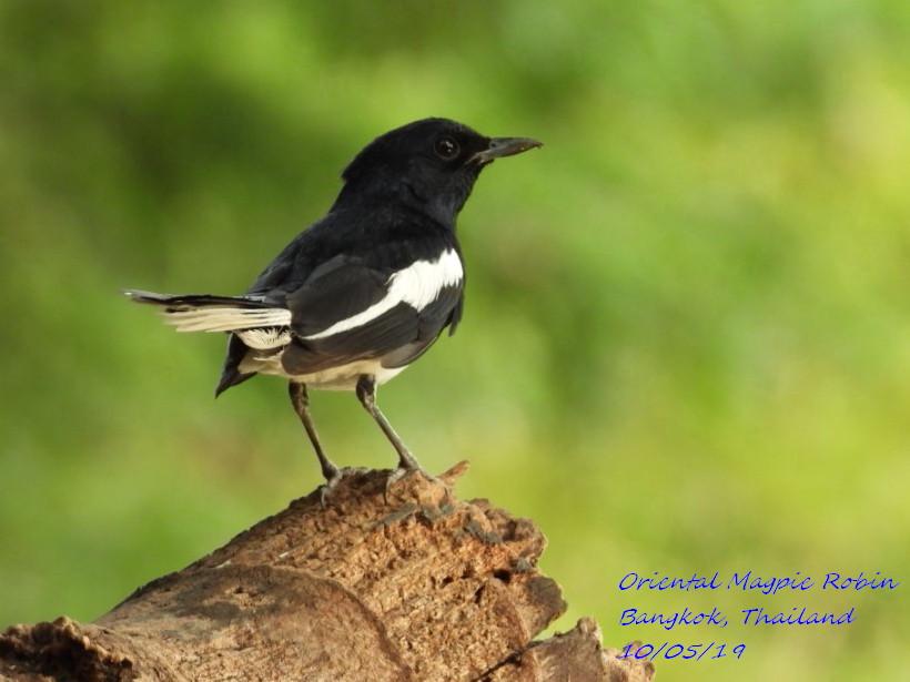 Oriental Magpie Robin 1