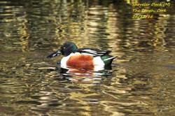 Shoveler Duck 3