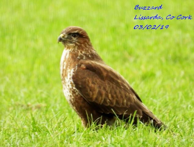 Buzzard 10