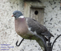 Woodpigeon 3