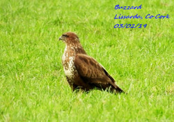 Buzzard 9