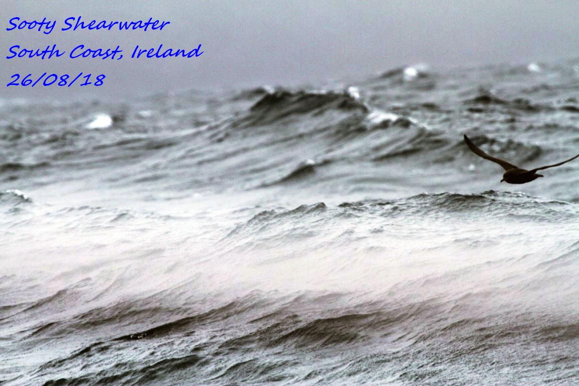 Sooty Shearwater 1