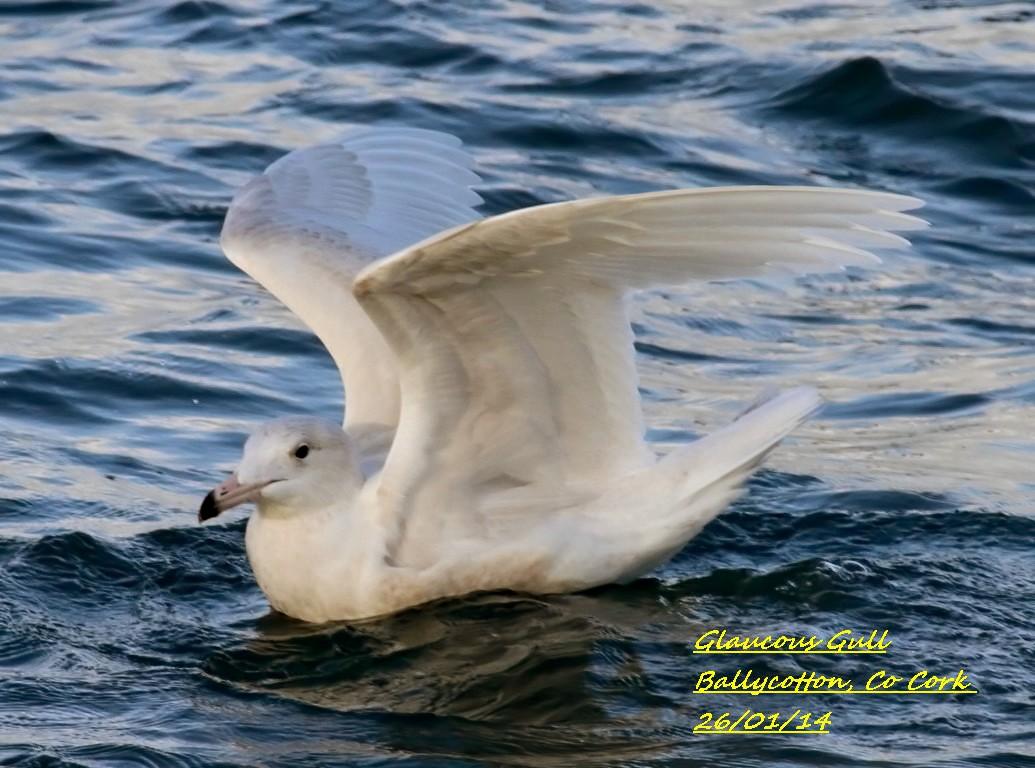 Glaucous Gull 3