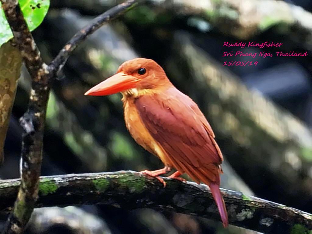 Ruddy Kingfisher 3