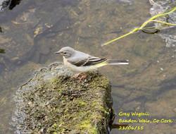 Grey Wagtail 4