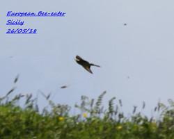 European Bee-eater 2