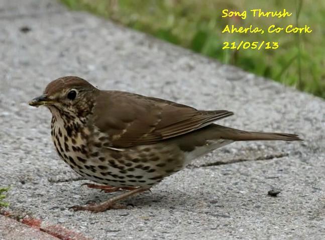 Song Thrush 4