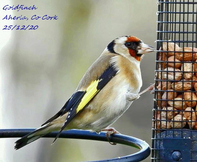 Goldfinch 7