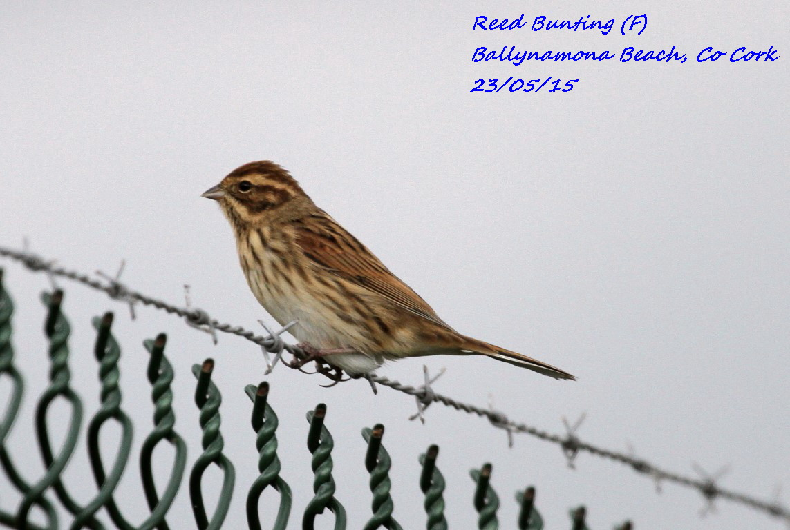 Reed Bunting 3