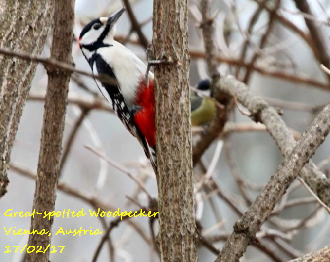 Great-spotted Woodpecker 4