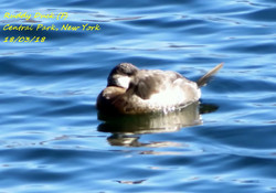 Ruddy Duck 2
