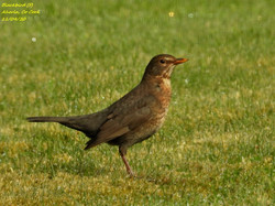 Blackbird 7
