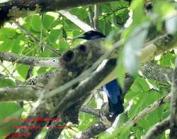 Asian Fairy Bluebird 2