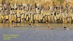 Red-breasted Merganser 4
