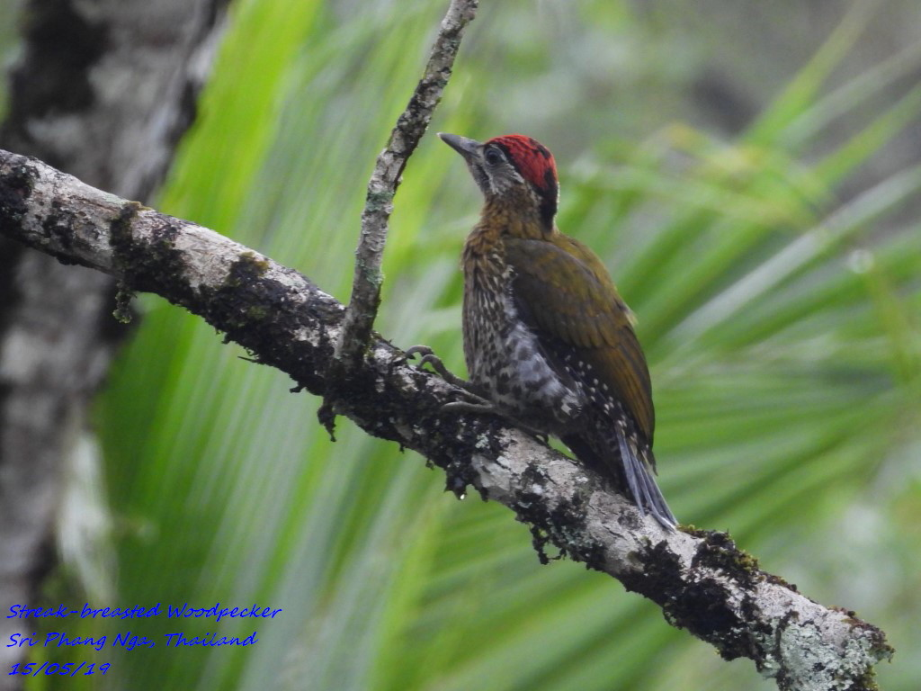 Streak-breasted Woodpecker 1