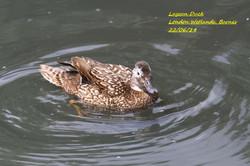 Laysan Duck 2