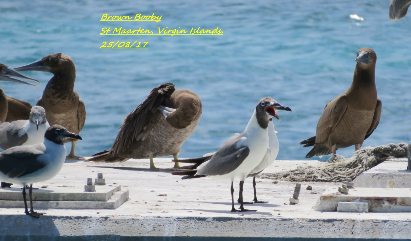 Brown Booby 2