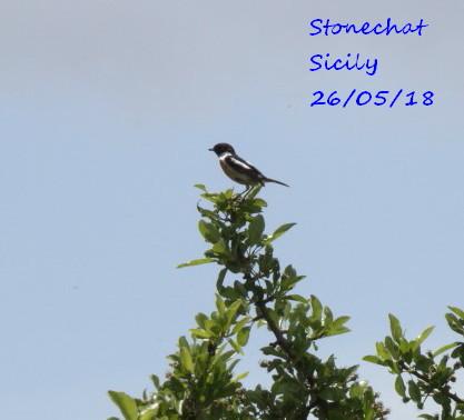 Stonechat 3