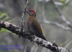 Streak-breasted Woodpecker 3