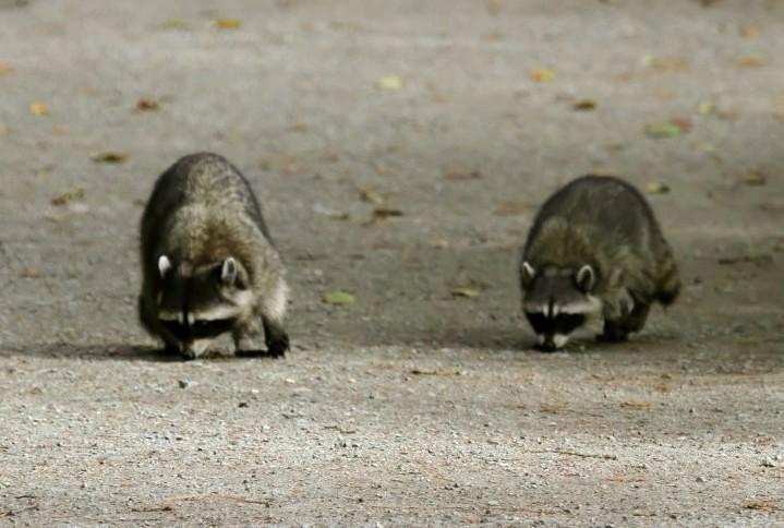 Raccoon (2)