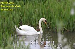 Mute Swan 1