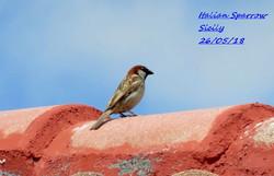 Italian Sparrow 1