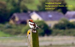 Woodchat Shrike 2