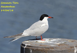 Common Tern 4