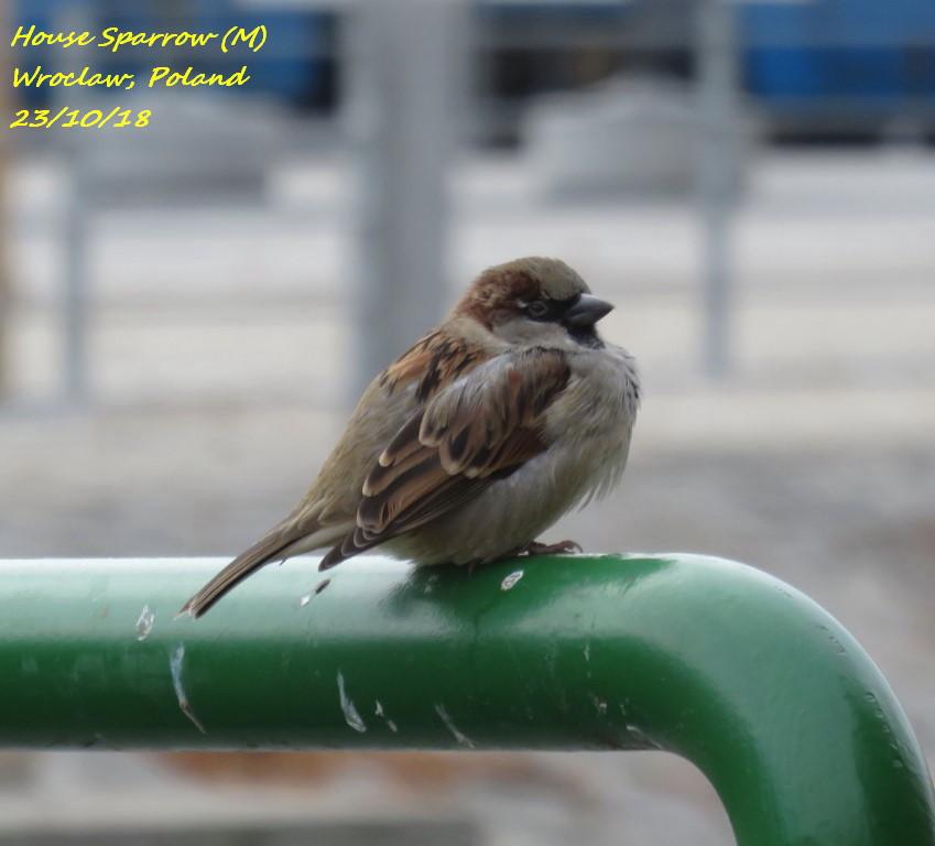 House Sparrow 6