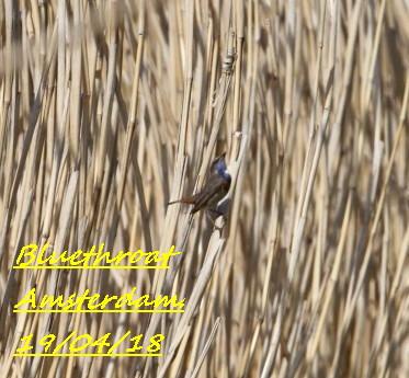 Bluethroat 1