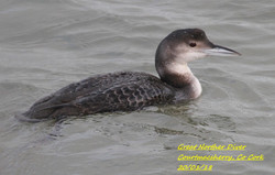 Great Northern Diver 4
