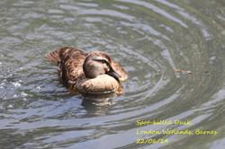 Spot-billed Duck 1