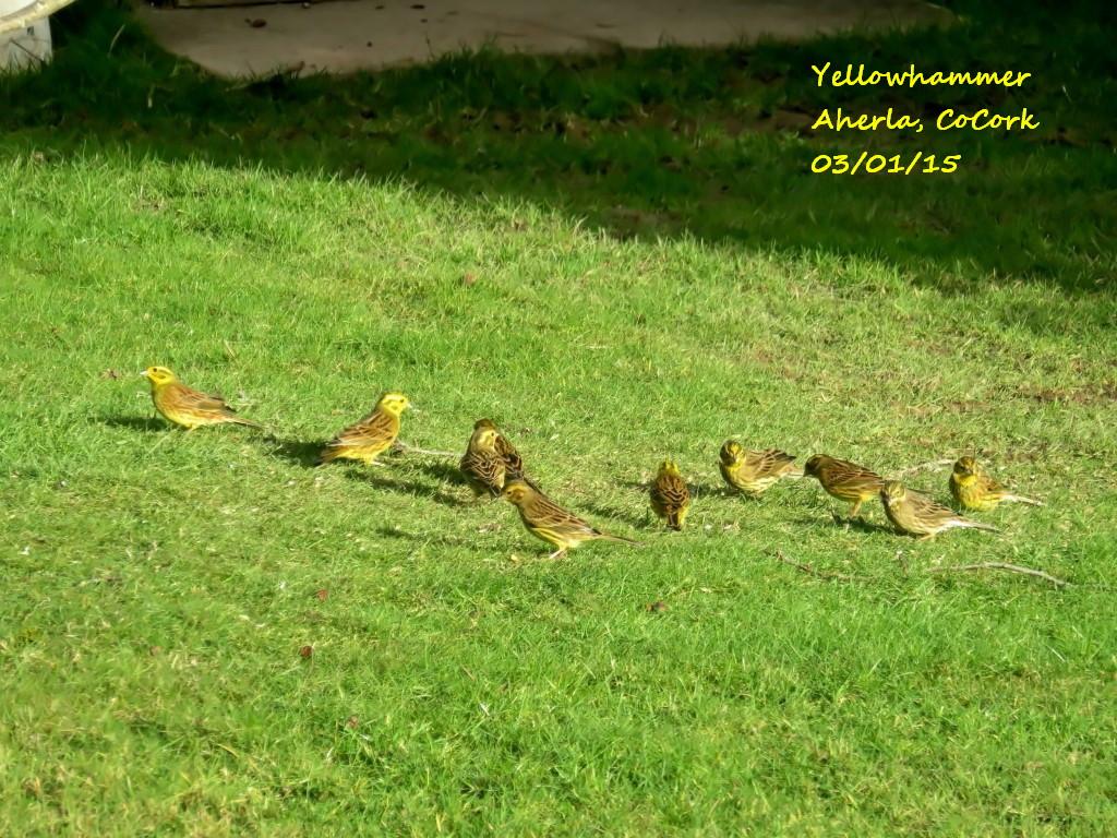 Yellowhammer 3