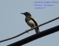 Oriental Magpie Robin 5