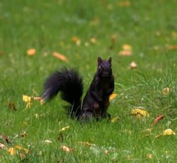 Squirrel Black (1)