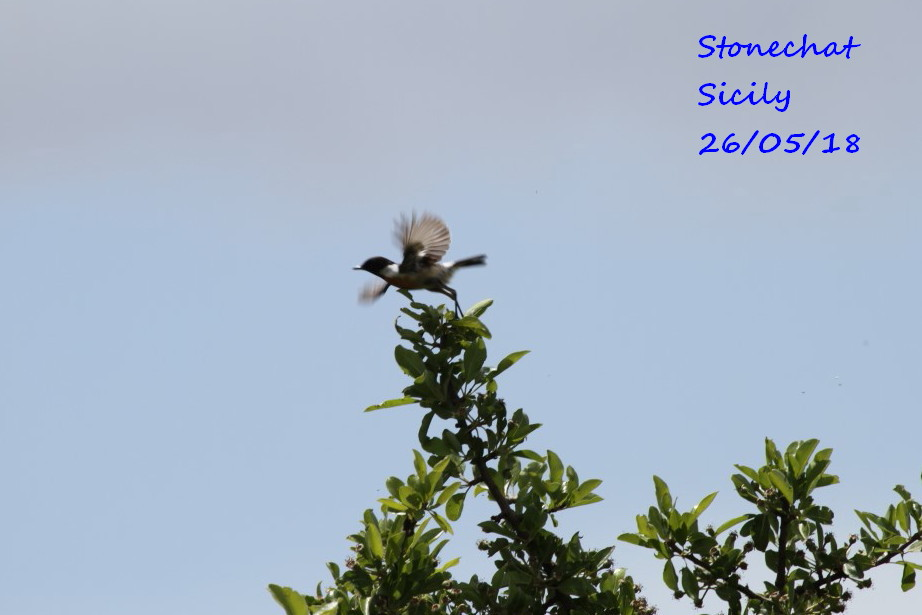 Stonechat 2