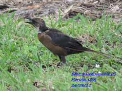 Boat-tailed Grackle 2