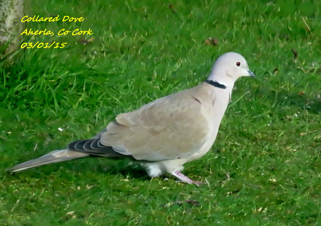 Collared Dove 3
