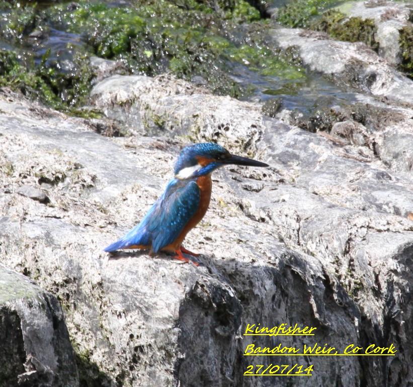 Kingfisher 5