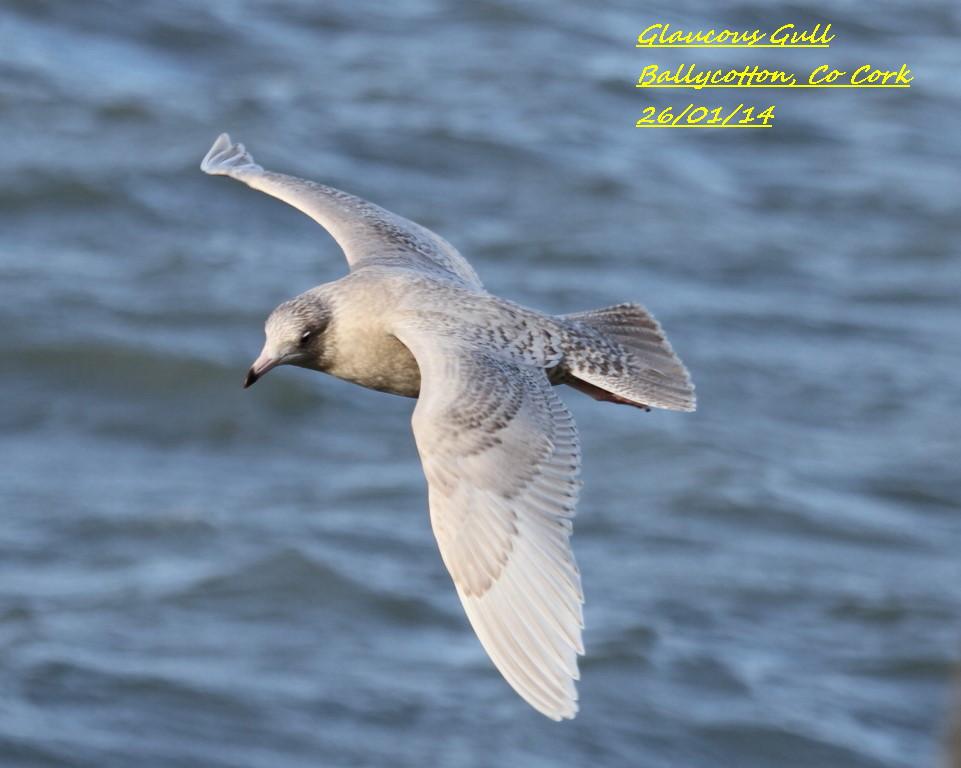 Glaucous Gull 2