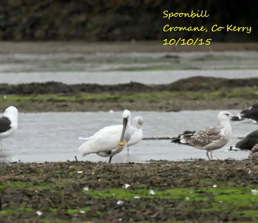 Spoonbill 3