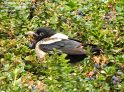 Rose-coloured Starling 2