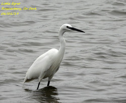 Little Egret 7