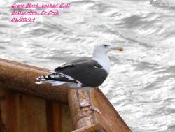 Great Black-backed Gull 1