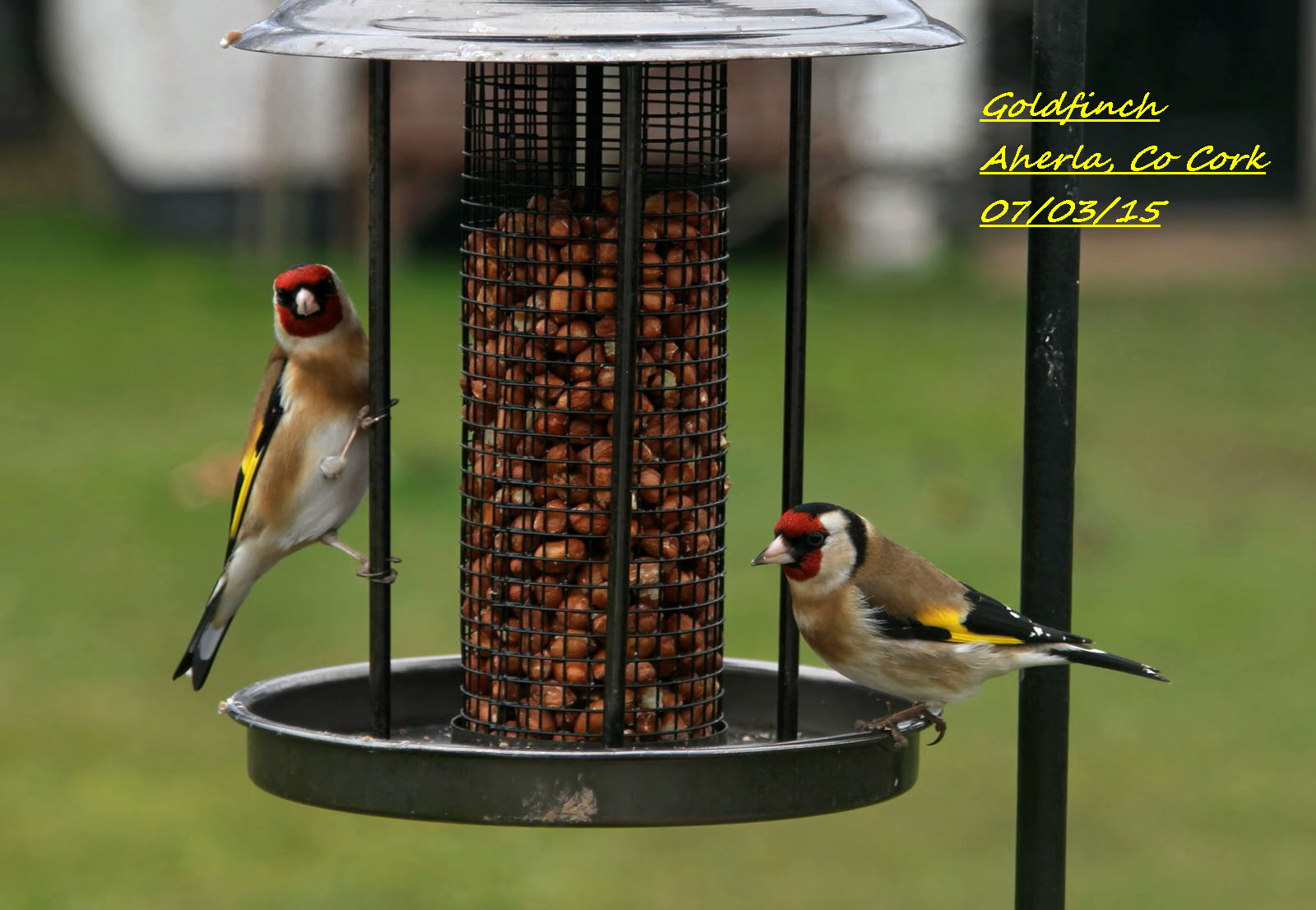 Goldfinch 9