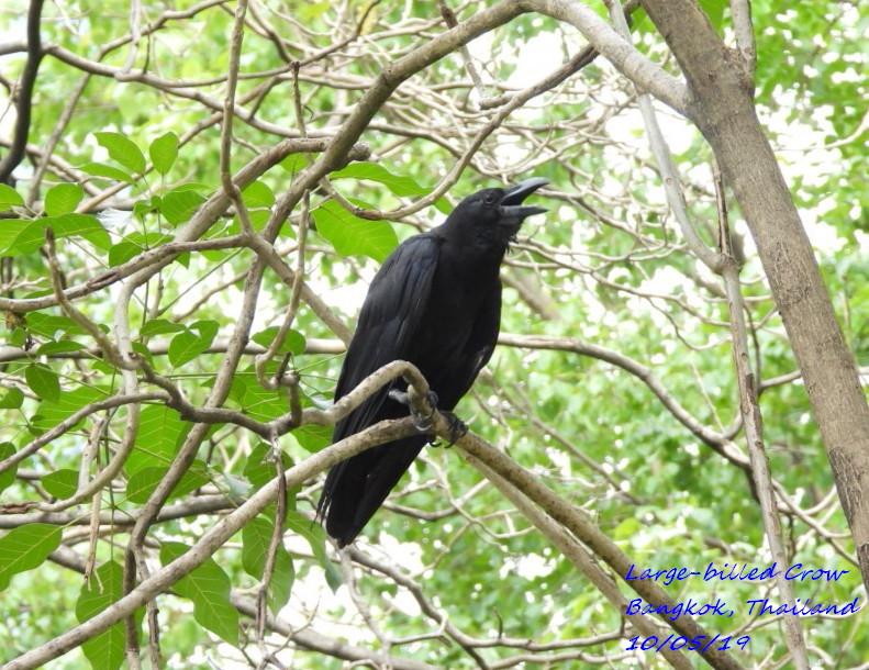 Large-billed Crow 3