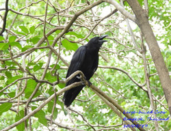 Large-billed Crow 3