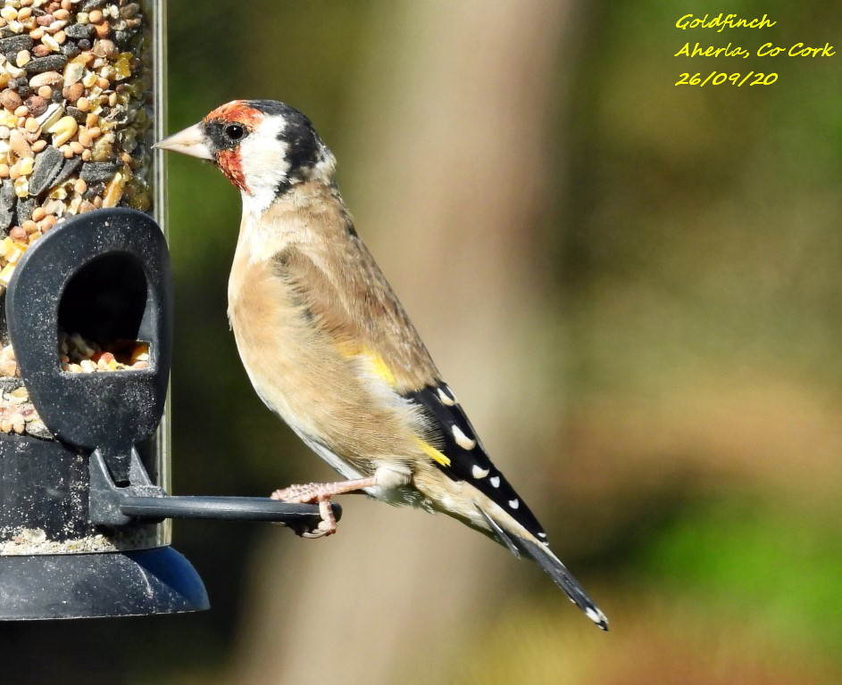 Goldfinch 5