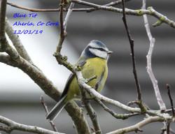 Blue Tit 6