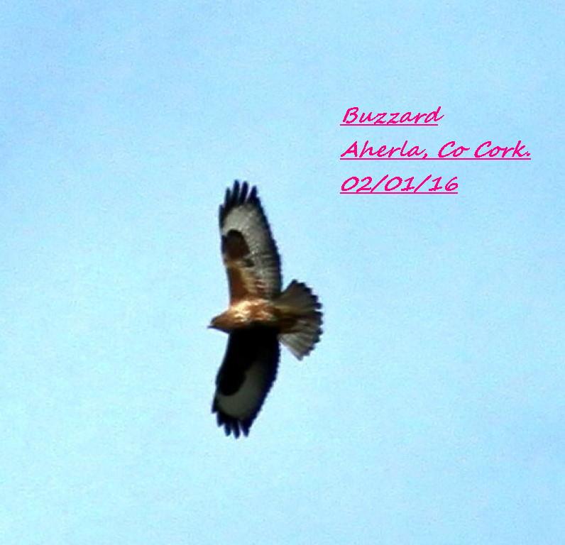 Buzzard 4